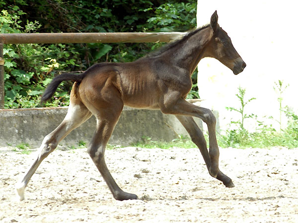 one day old: Trakehner colt by Summertime