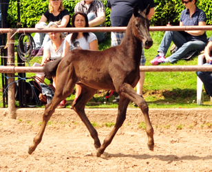Trakehner Filly by Schwarzgold out of Pr.a. StPrSt. Tacyra