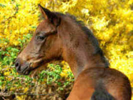 Filly by Freufenfest a.d. Agatha Christie by Showmaster, Breeder and owner: Karl-Heinz Kriwet, Bad Pyrmont