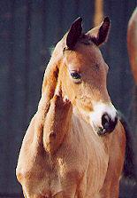 Filly by Freudenfest out of Premium-Mare Schwalbenspiel - 6 days old