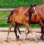 Filly by Alter Fritz out of State-Premium-Mare Guendalina by Red Patrick xx