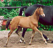 Filly by Freudenfest out of  Premium-Mare Schwalbenlust by Enrico Caruso