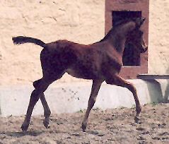 Filly by Freudenfest out of Pr.St. Schwalbenspiel - 6 weeks old