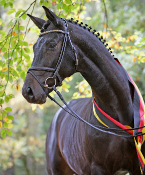Songline - Champion of the Trakehner stallion selection 2006 - Summertime - Exclusiv