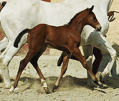 Filly by Schwadroneur out of Elitemare Thirza by Karon